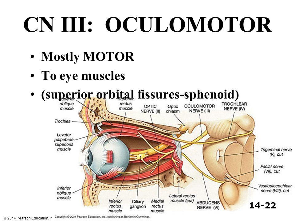 CN III: OCULOMOTOR Mostly MOTOR To eye muscles
