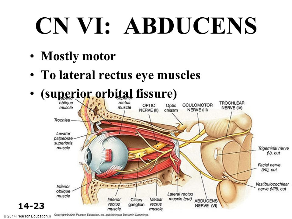 CN VI: ABDUCENS Mostly motor To lateral rectus eye muscles