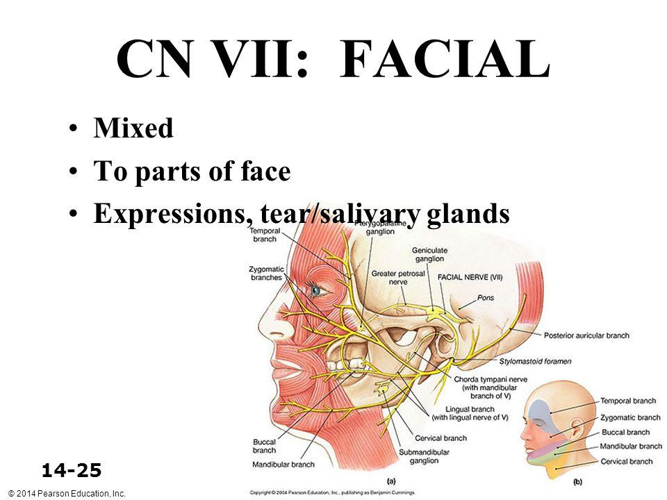 CN VII: FACIAL Mixed To parts of face