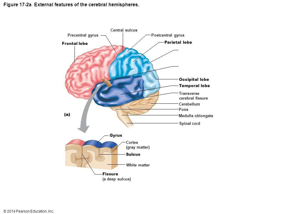 Figure 17-2a External features of the cerebral hemispheres.