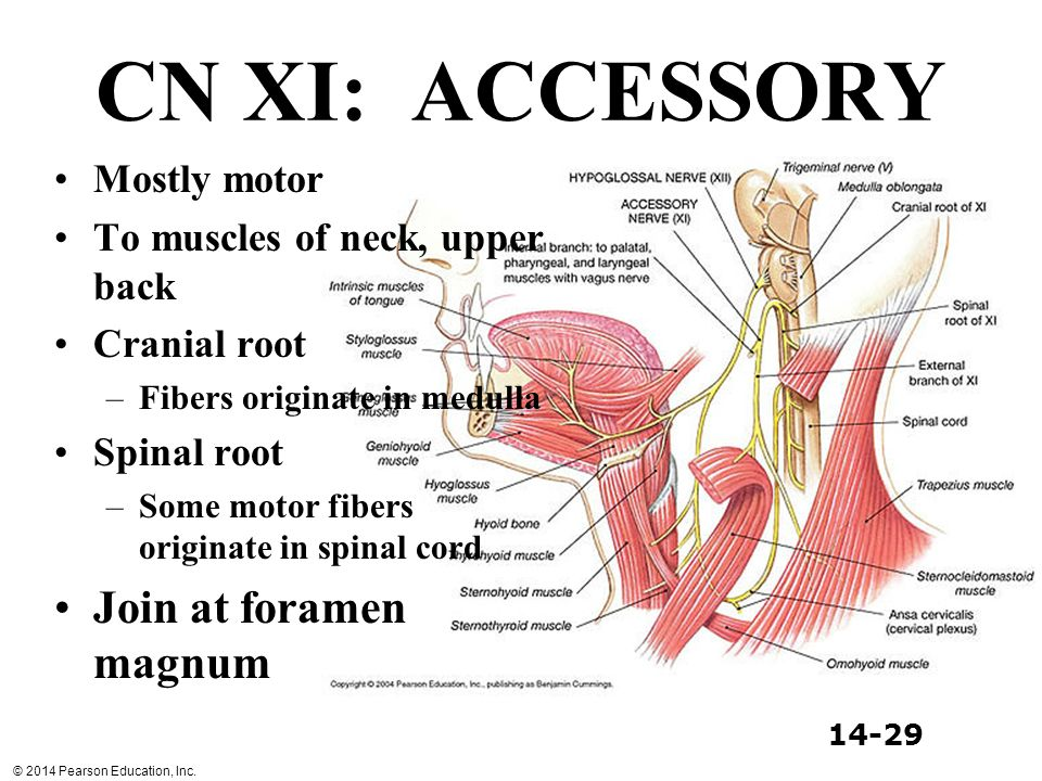 CN XI: ACCESSORY Join at foramen magnum Mostly motor