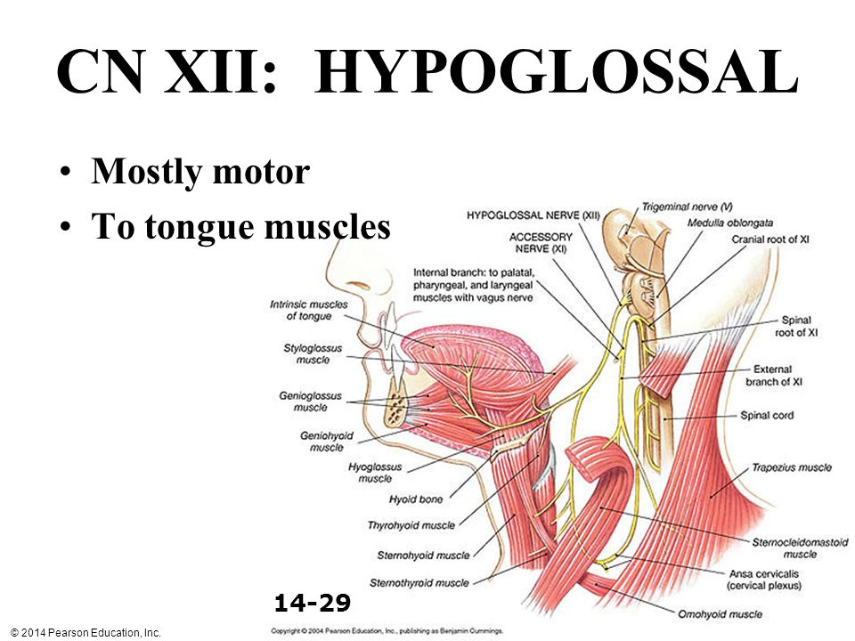 CN XII: HYPOGLOSSAL Mostly motor To tongue muscles 14-29