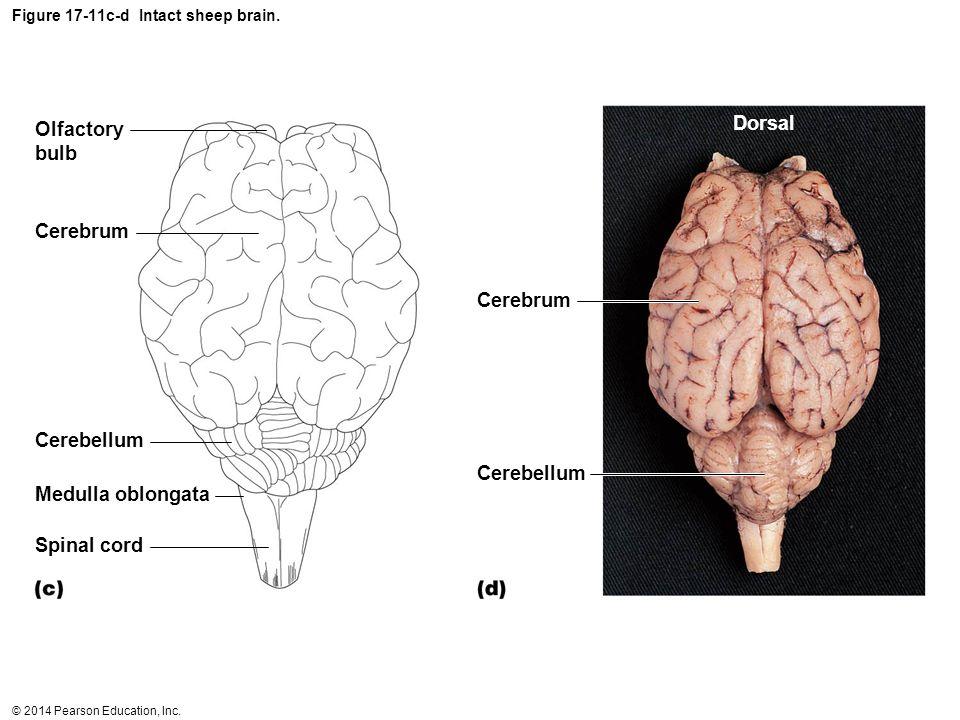 Figure 17-11c-d Intact sheep brain.