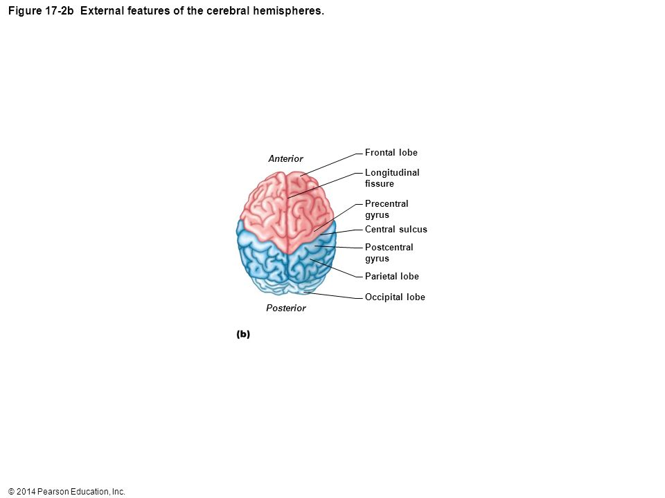 Figure 17-2b External features of the cerebral hemispheres.