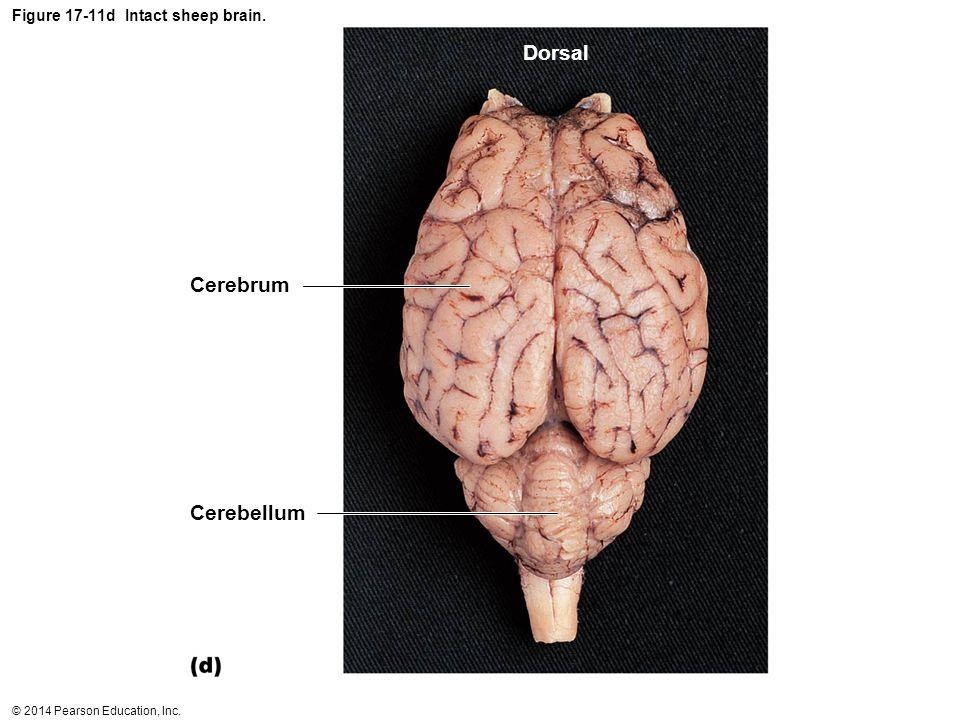 Figure 17-11d Intact sheep brain.