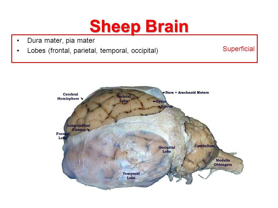Sheep Brain Superficial Dura mater, pia mater