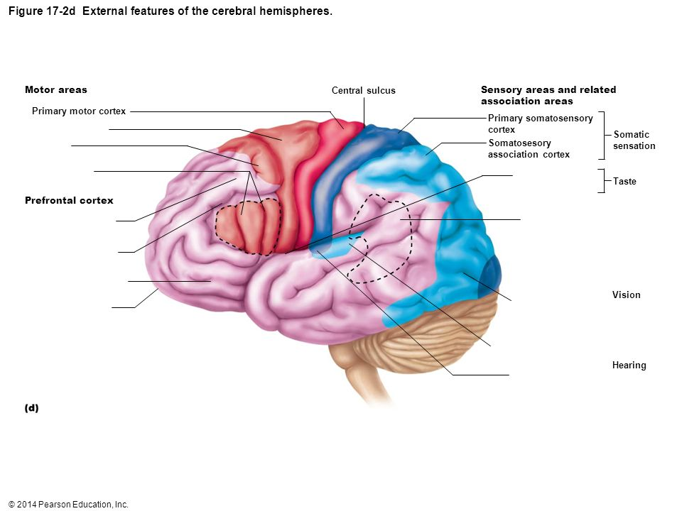Figure 17-2d External features of the cerebral hemispheres.