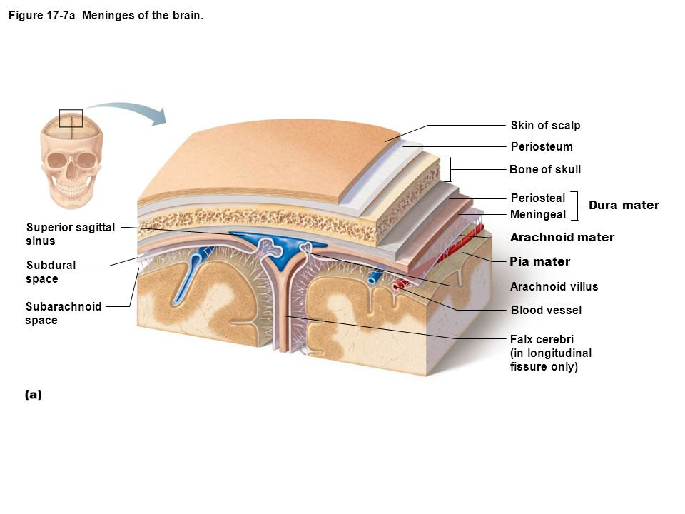 Figure 17-7a Meninges of the brain.