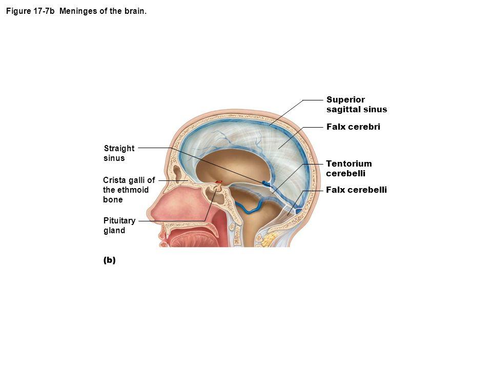 Figure 17-7b Meninges of the brain.