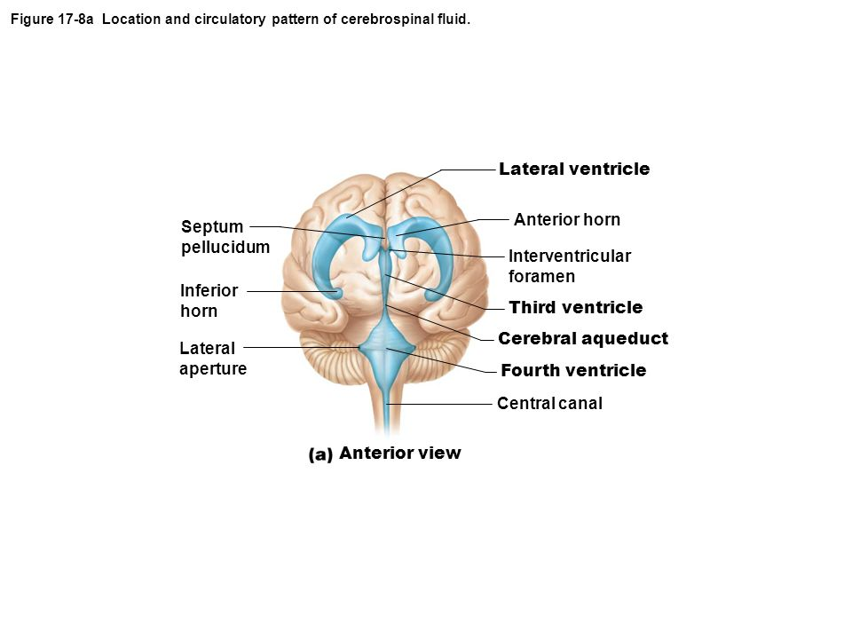Figure 17-8a Location and circulatory pattern of cerebrospinal fluid.