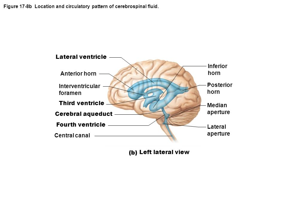 Figure 17-8b Location and circulatory pattern of cerebrospinal fluid.