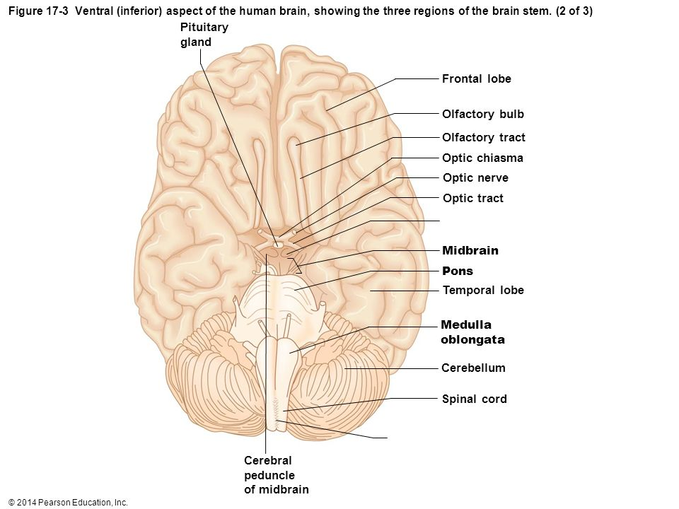 Exercise 19 Gross Anatomy Of The Brain Choice Image Human Body Anatomy