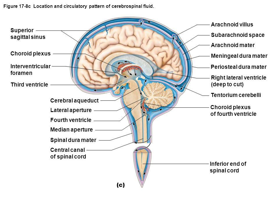 Figure 17-8c Location and circulatory pattern of cerebrospinal fluid.