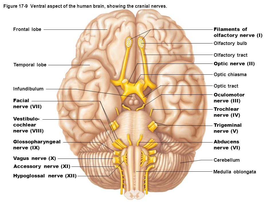 EXERCISE 17: BRAIN AND CRANIAL NERVES - ppt download