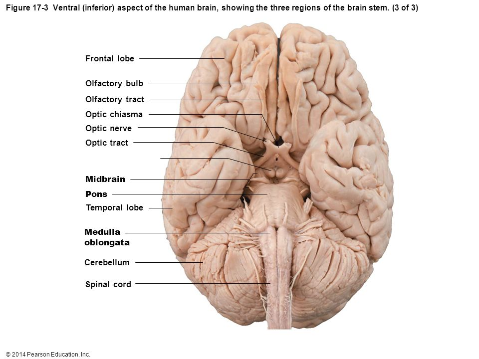 Frontal lobe Olfactory bulb Olfactory tract Optic chiasma Optic nerve