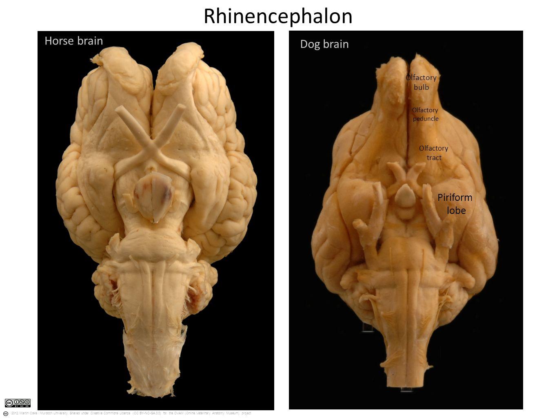 Dog brain size - crazywidow.info