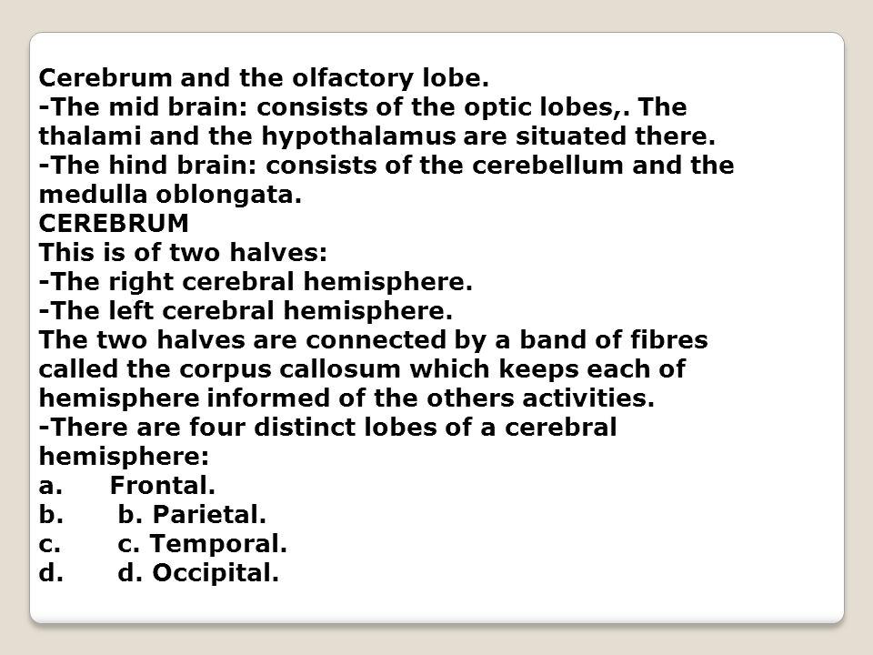 Cerebrum and the olfactory lobe.