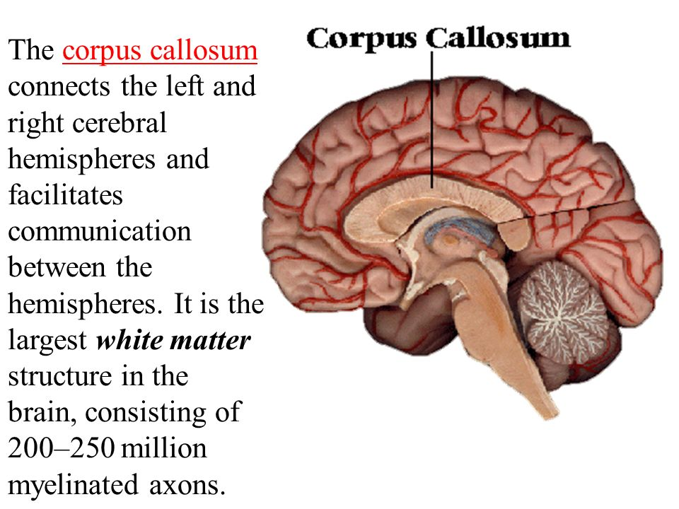 The Brain The brain is composed of the cerebrum ...