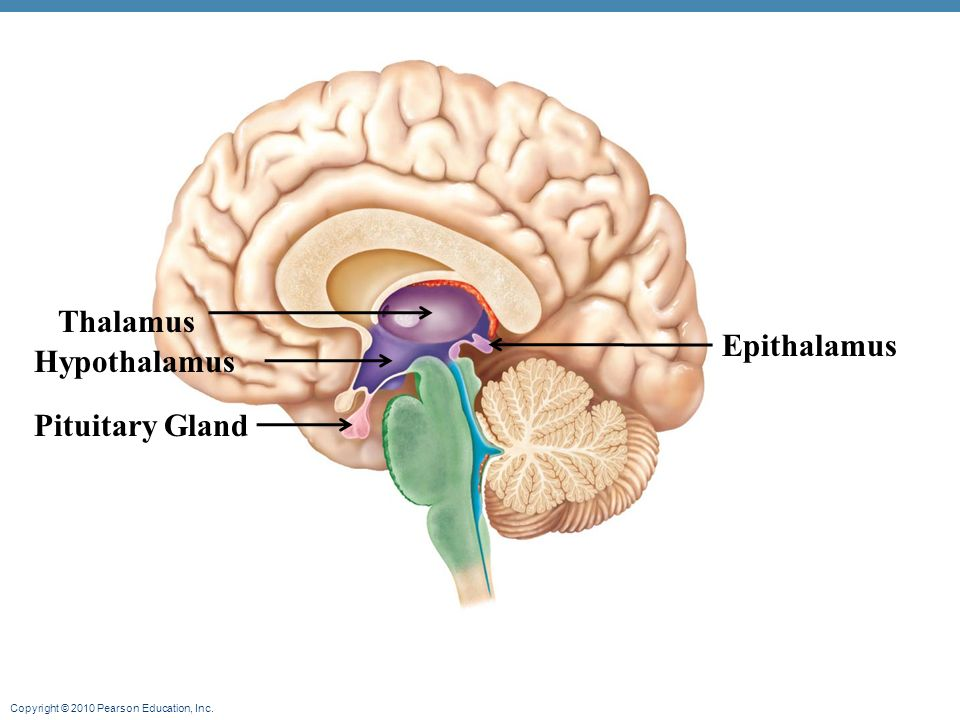 epithalamus diagram - photo #17