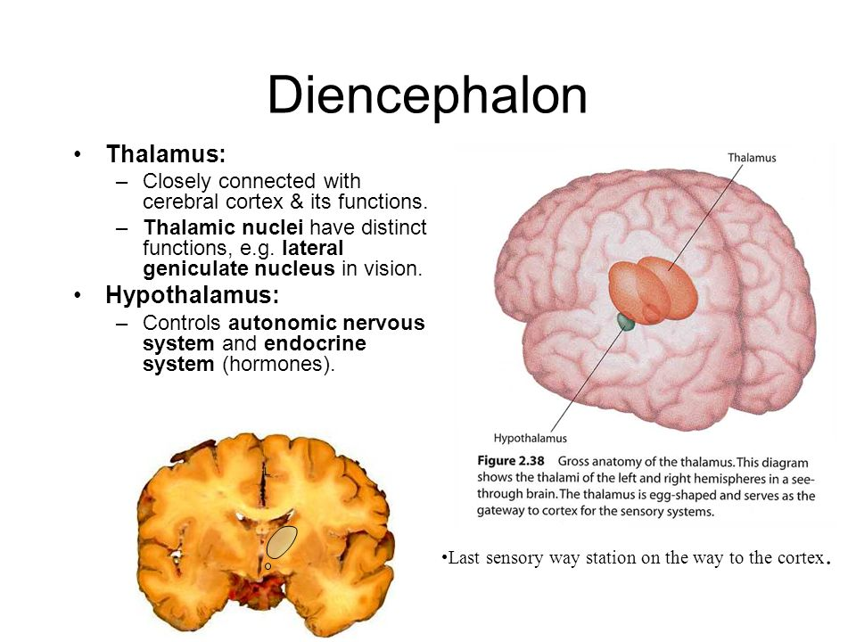 brain thalamus function - photo #10