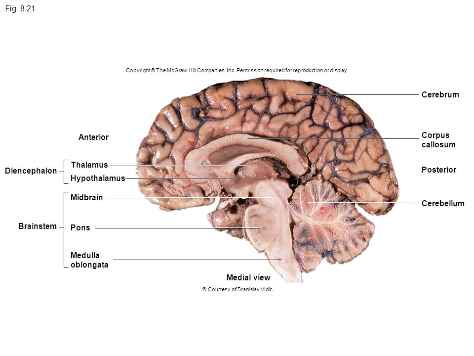 Brain Nerves to face CNS Spinal cord Ganglia Nerves to ...
