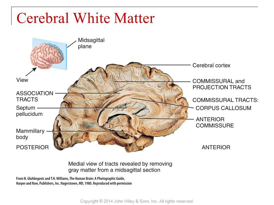 Cérébral Cortex Wiley -