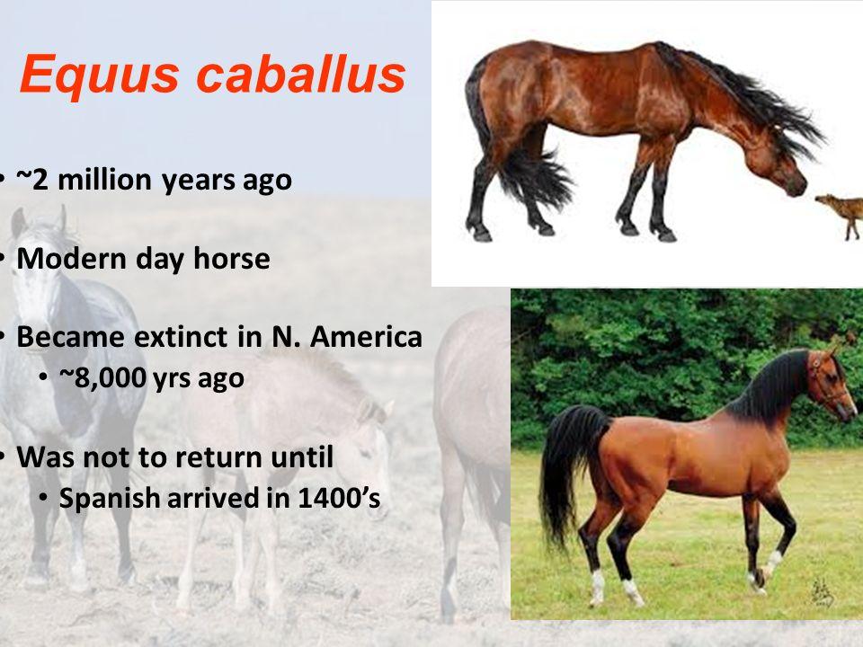 Equus caballus ~2 million years ago Modern day horse