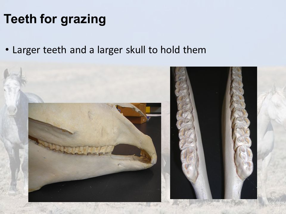 Teeth for grazing Larger teeth and a larger skull to hold them