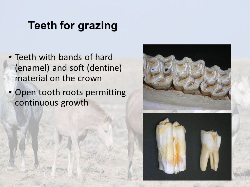 Teeth for grazing Teeth with bands of hard (enamel) and soft (dentine) material on the crown.