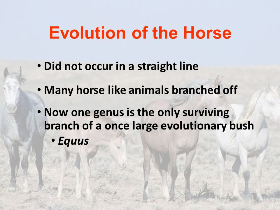 Evolution of the Horse Did not occur in a straight line