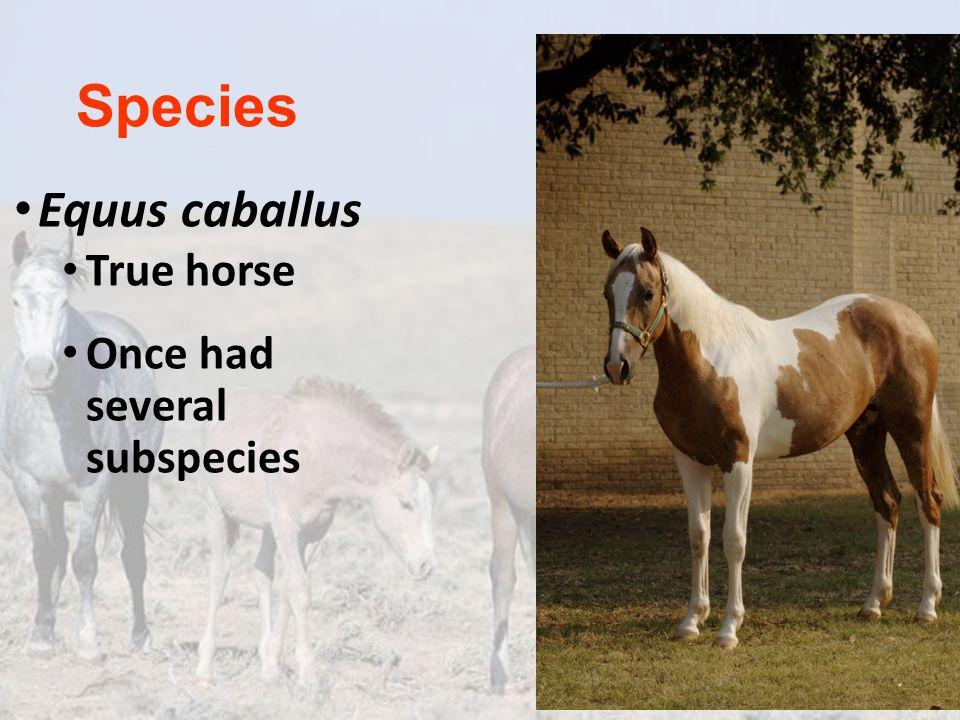 Species Equus caballus True horse Once had several subspecies