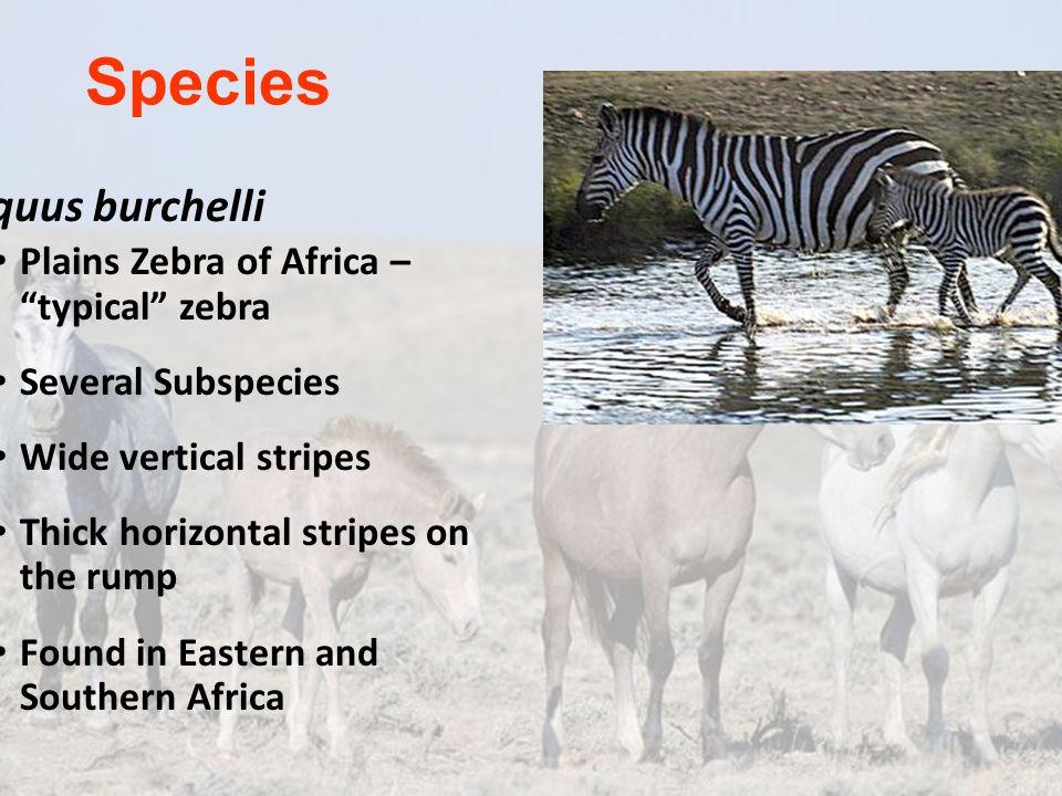 Species Equus burchelli Plains Zebra of Africa – typical zebra