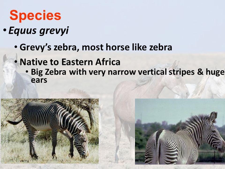 Species Equus grevyi Grevy's zebra, most horse like zebra