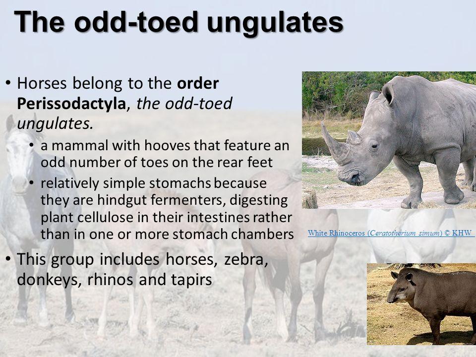 The odd-toed ungulates