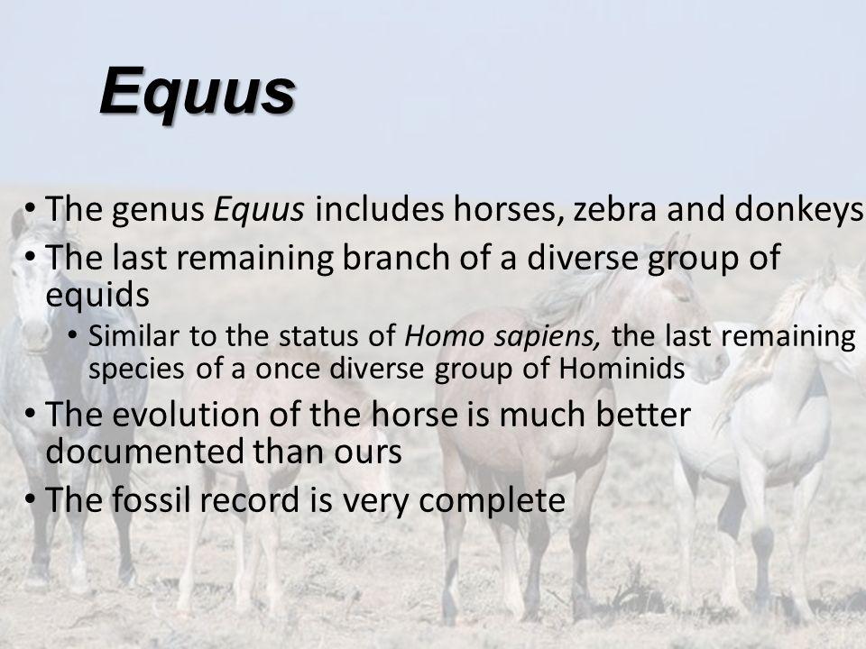 Equus The genus Equus includes horses, zebra and donkeys