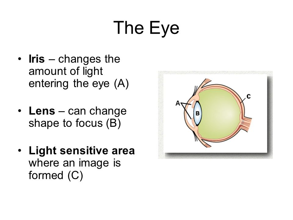 The Eye Iris – changes the amount of light entering the eye (A)