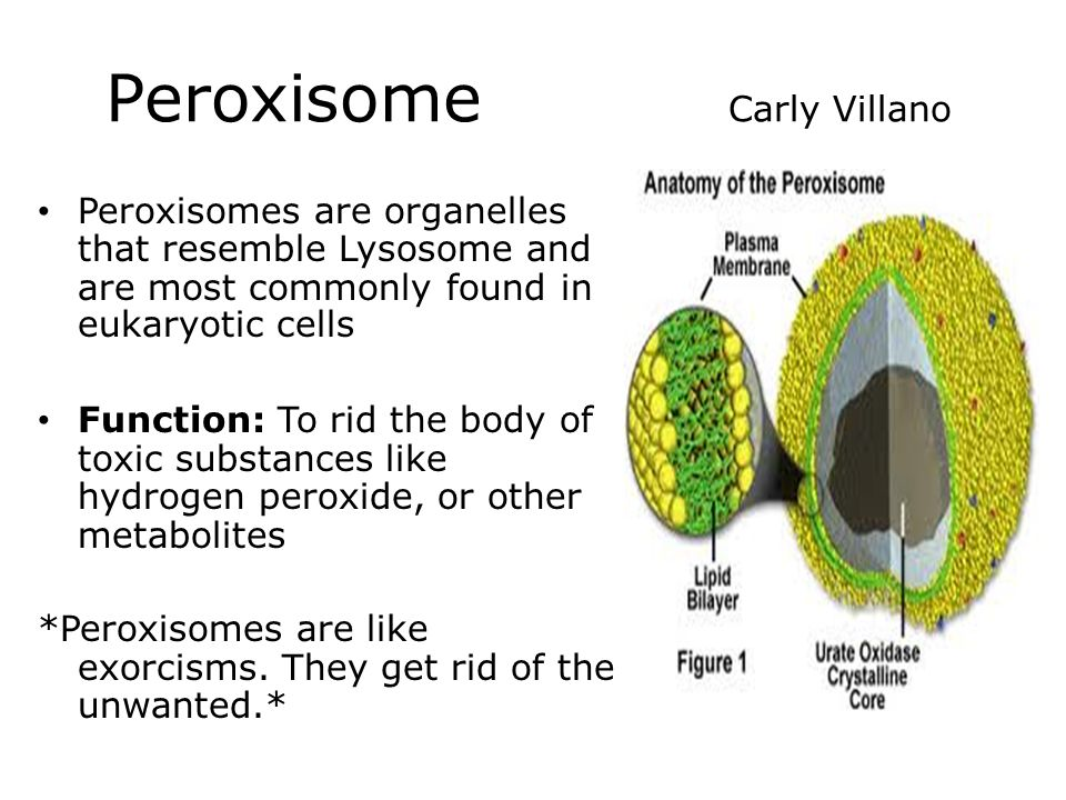 The gallery for --> Zellweger Syndrome Peroxisomes