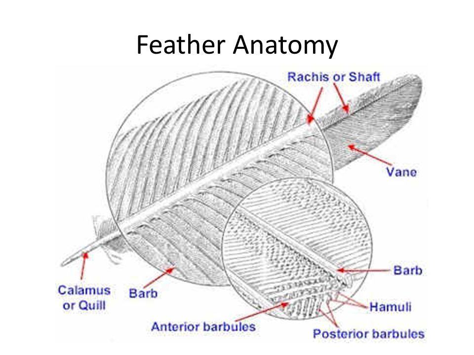 Anatomy of a bird feather