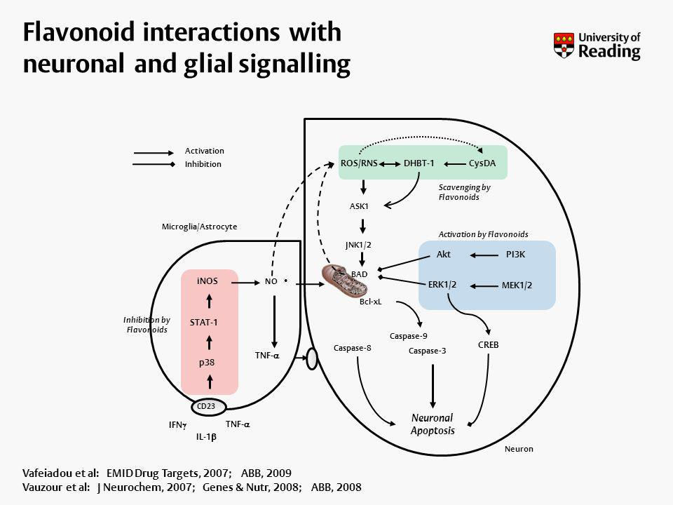 Flavonoid interactions with neuronal and glial signalling