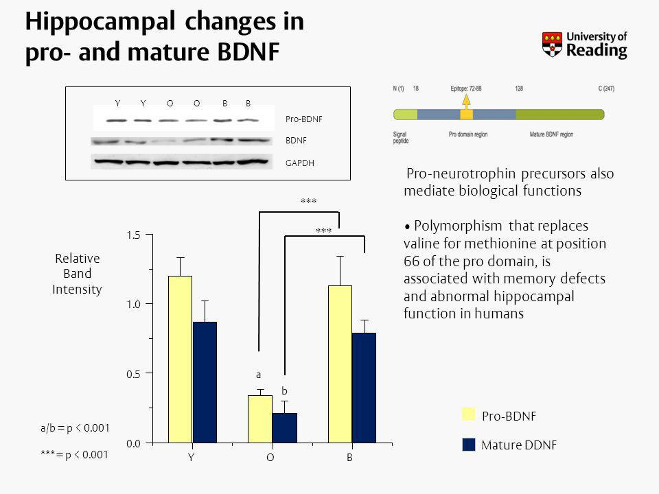 Hippocampal changes in pro- and mature BDNF