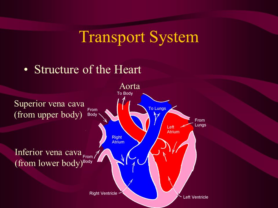 Transport System Structure of the Heart Aorta Superior vena cava