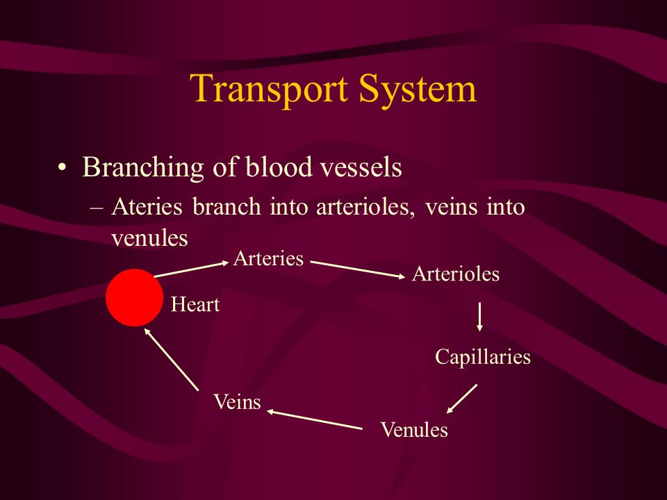 Transport System Branching of blood vessels