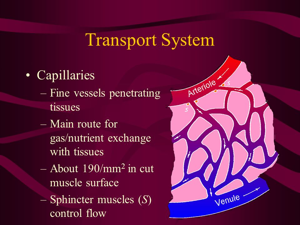 Transport System Capillaries Fine vessels penetrating tissues