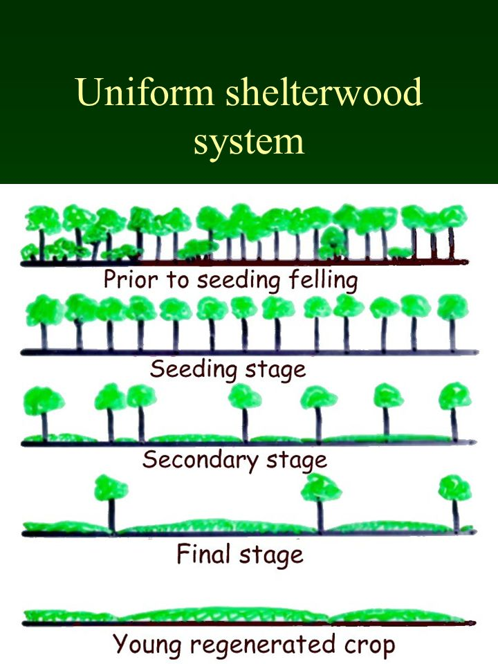Uniform shelterwood system
