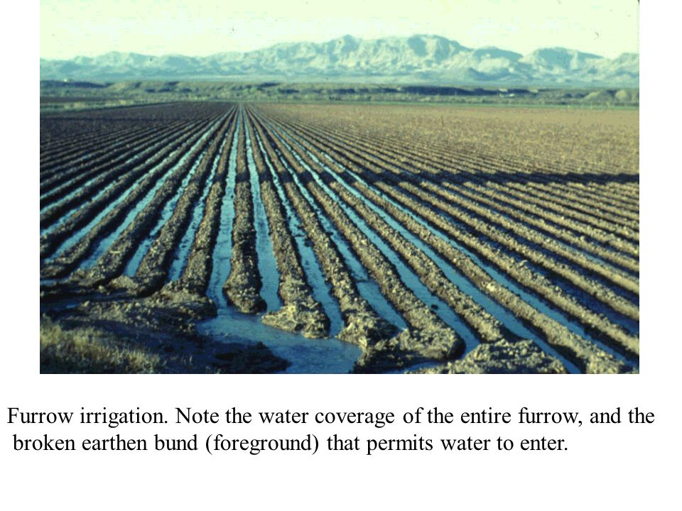 Furrow irrigation. Note the water coverage of the entire furrow, and the
