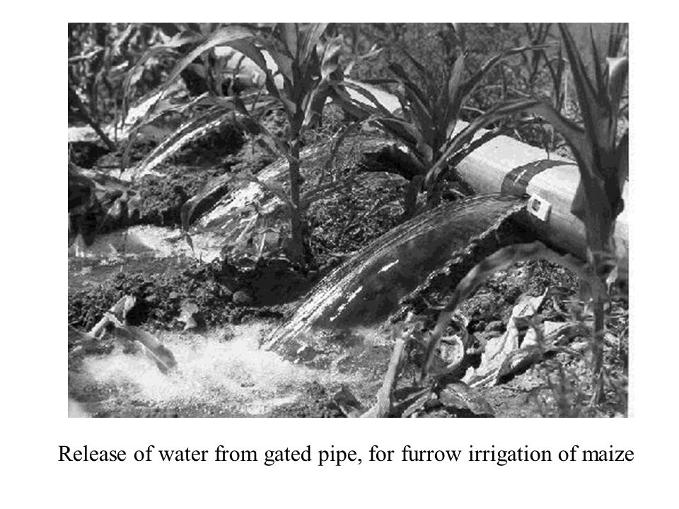 Release of water from gated pipe, for furrow irrigation of maize