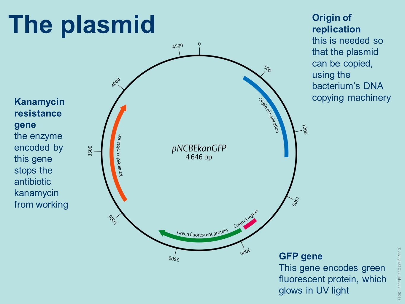 The plasmid Origin of replication this is needed so that the plasmid can be copied, using the bacterium's DNA copying machinery.