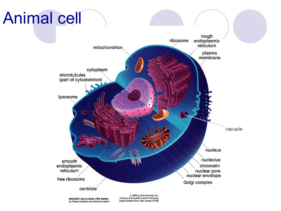 Animal Cell Diagram Vacuole Image collections - How To ...