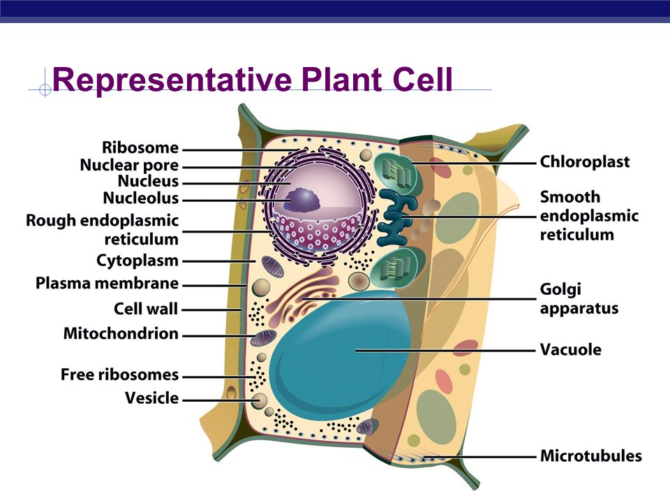 Representative Plant Cell on Cell Division Mitosis And Meiosis