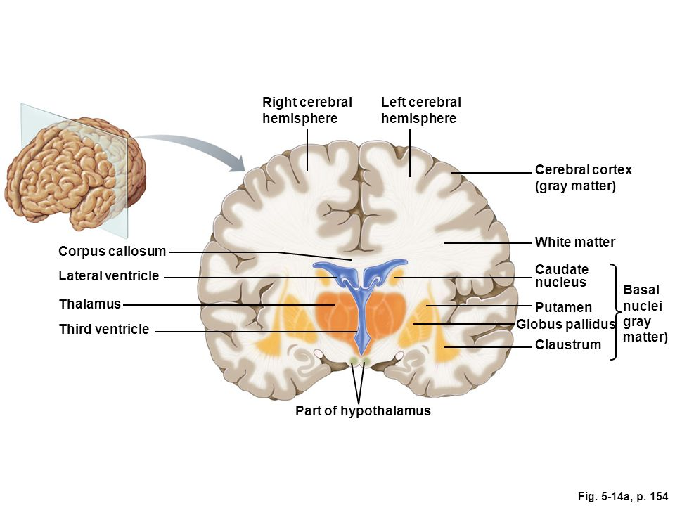 brain diagram grey matter choice image how to guide and